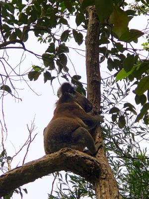 Gold Coast koala