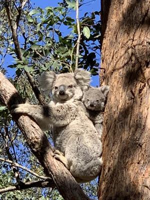 bootawa koalas