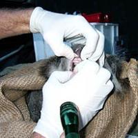 Koala Tooth Wear